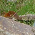 Squirrel in Delgaty Woods