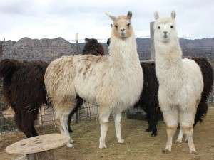 new llamas