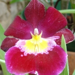 orchid_07