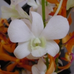 orchid_12