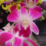 orchid_13