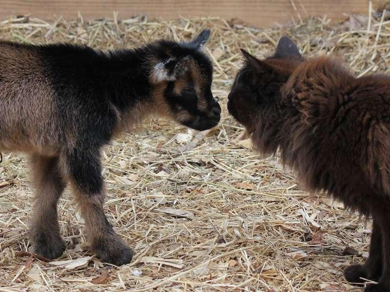 Goat Kids, Spring 2014